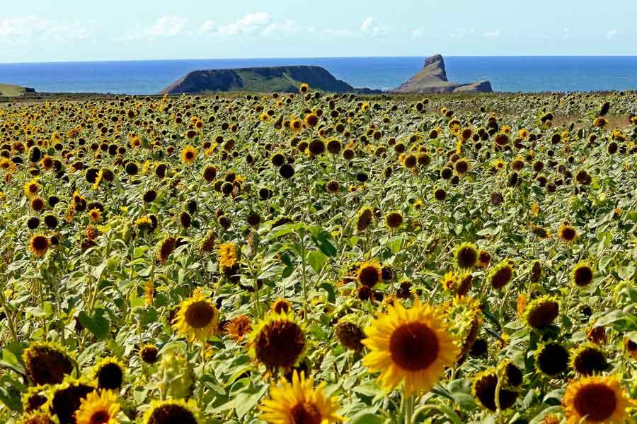 Sunflower fields , worms Head, Rhossili . Gower