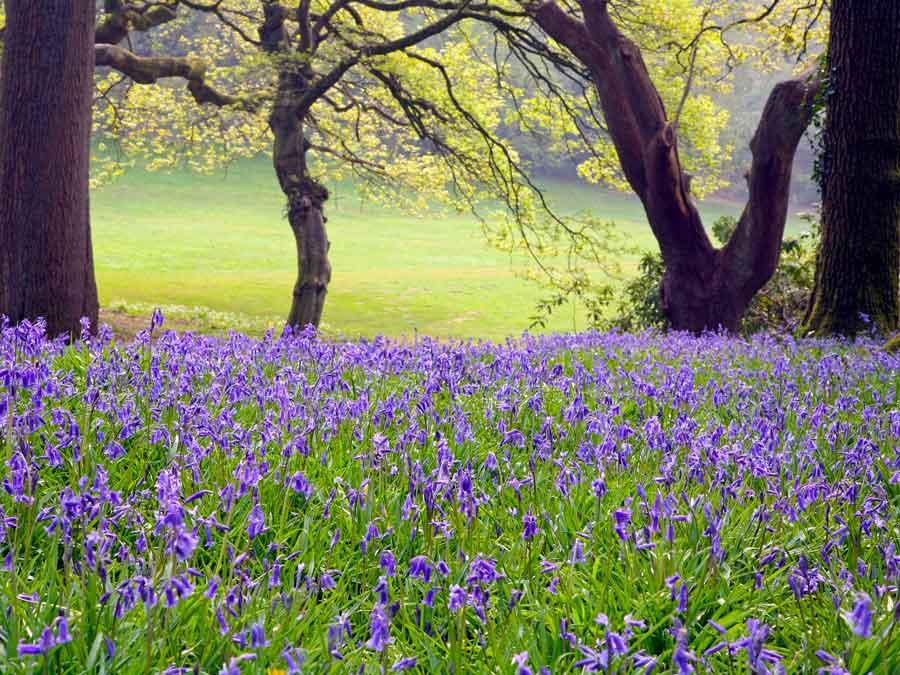 Bluebell woods, Clyne Gardens, Swansea