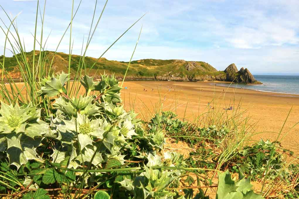 Three Cliffs Bay sea holly in foreground