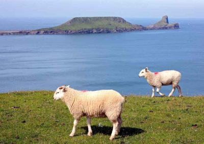 Worms Head and sheep