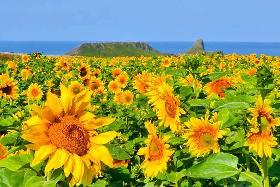Sunflower fields, Worms Head Rhossili
