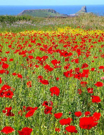 Red Poppy fields Worm's Head Rhossili