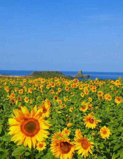 Sunflower Fields at Worm's Head