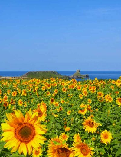 Sunflowers at Worms Head