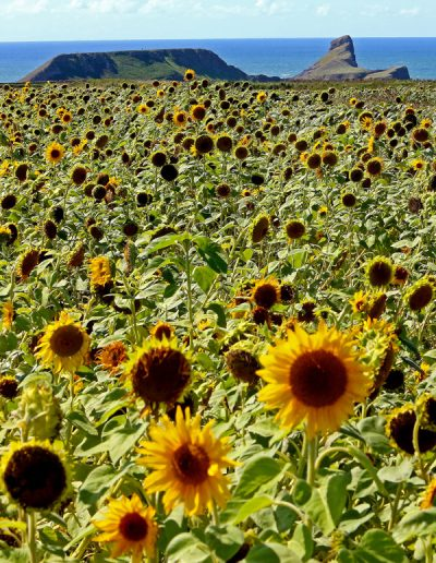 Worms Head with sunflowers
