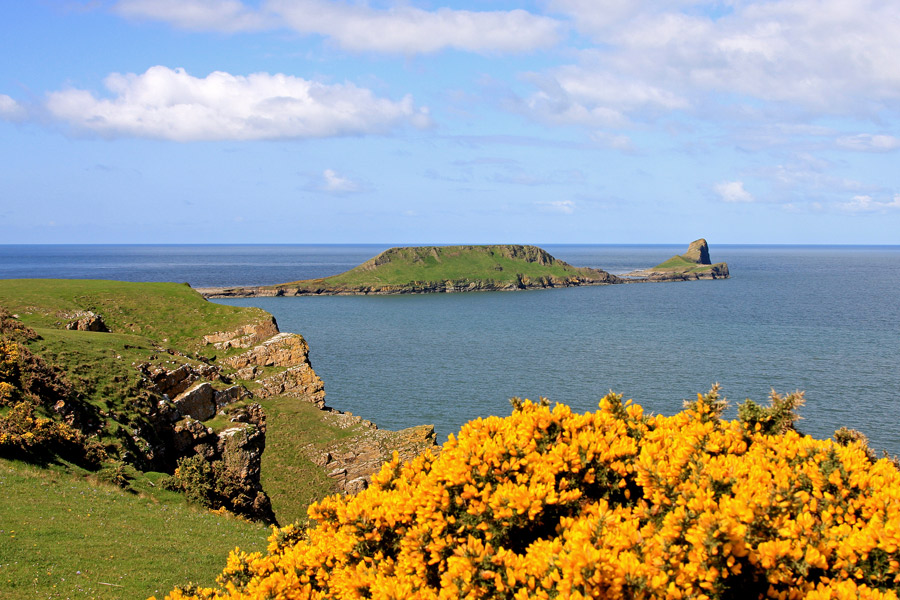 Worms Head with yellow gorse in foreground